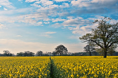 [Free Images] Nature, Field / Farm, Rapeseed / Canola, Landscape - United Kingdom ID:201204262000