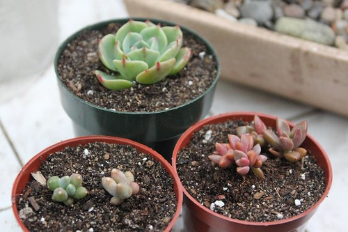 Succulents Potted Up