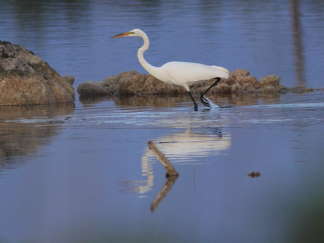 Great Egret 2-20120411