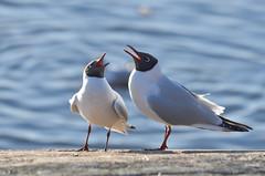 [Free Images] Animals 2, Gulls / Seagulls, Black-headed Gull, Animals - Couple ID:201204201800