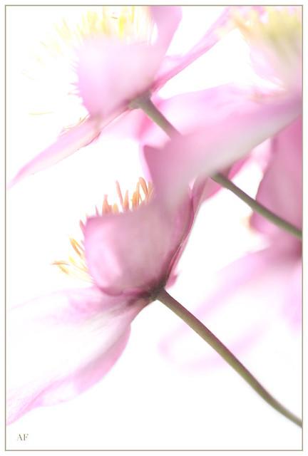 Pastel Pink Clematis