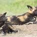 Wild Dogs by blair_costelloe