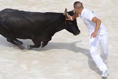 stallion(0.0), tradition(0.0), cattle(0.0), matador(0.0), cattle-like mammal(1.0), bull(1.0), bullfighting(1.0),