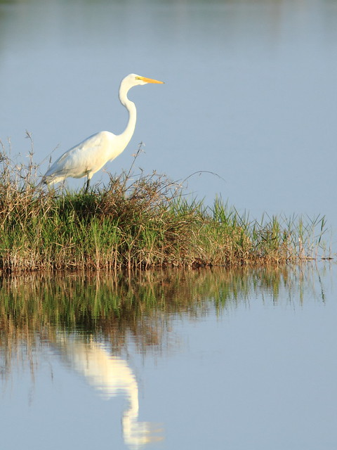 Great Egret reflection 2-20130519
