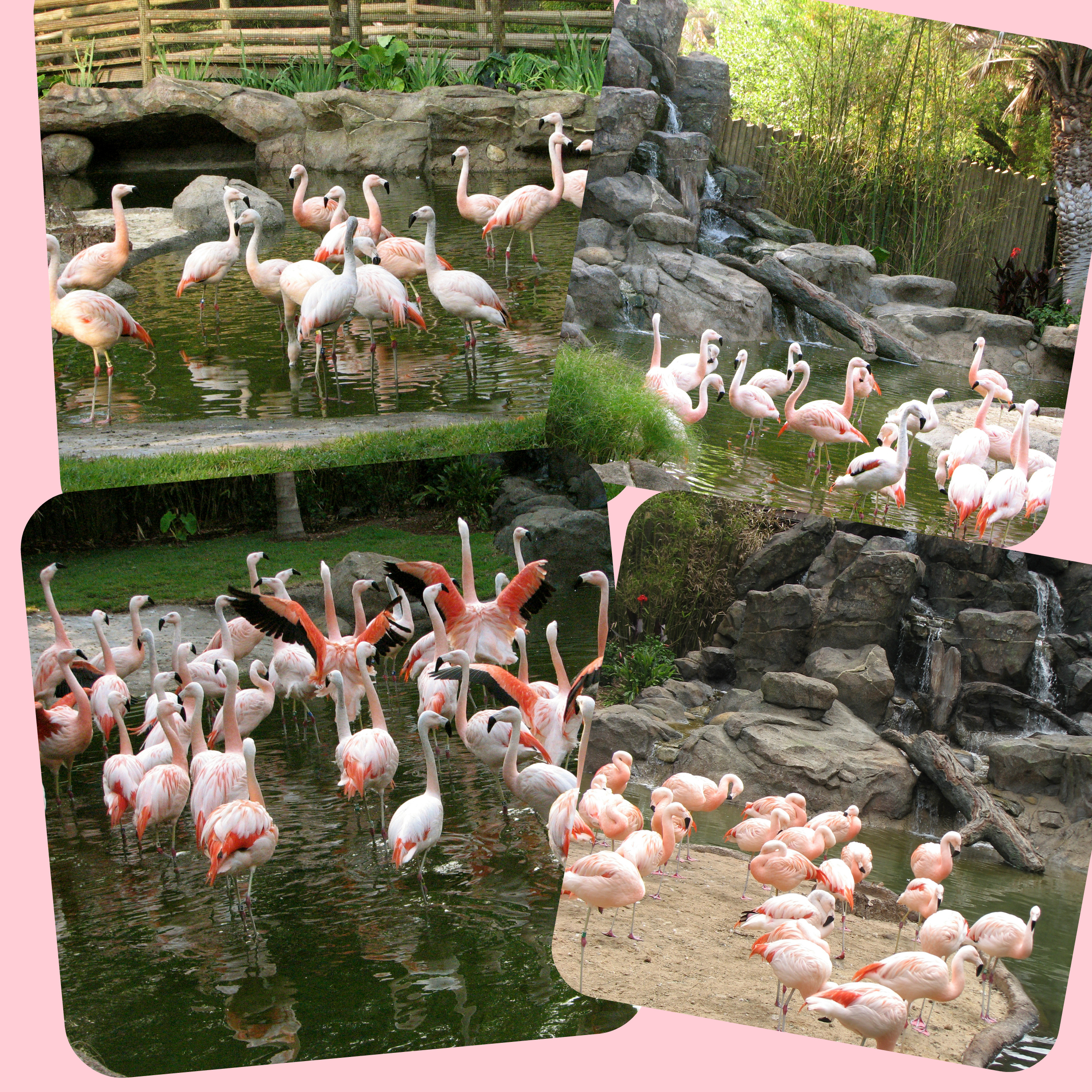 Chilean Flamingo Collage