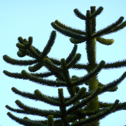 monkey puzzle by pho-Tony