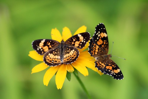 two butterflies in one click-