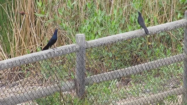 MVI_0181 Great-tailed grackle red wing blackbird LLC Goleta18s
