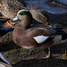 Small photo of American Widgeon