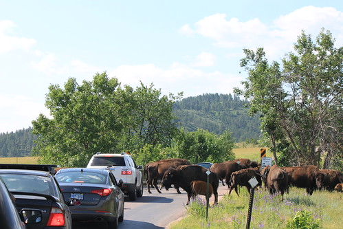 bison walking in front of cars on the wildlife loop