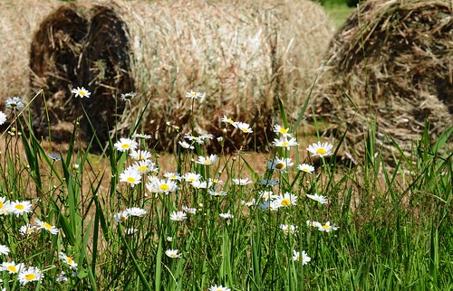 flowers daisies farm hay farmcountry roundbales 3411