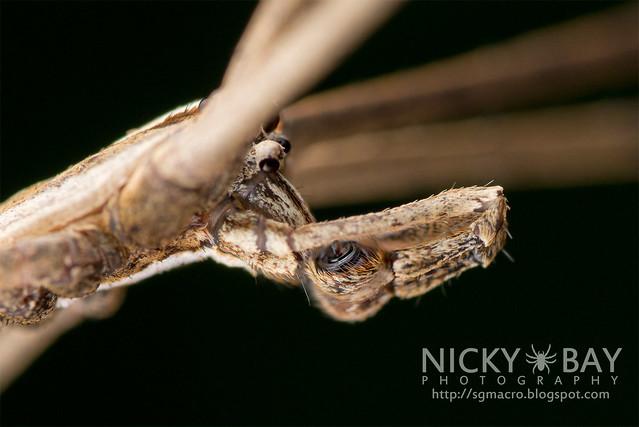 Net-Casting Spider (Deinopis sp.) - DSC_9409