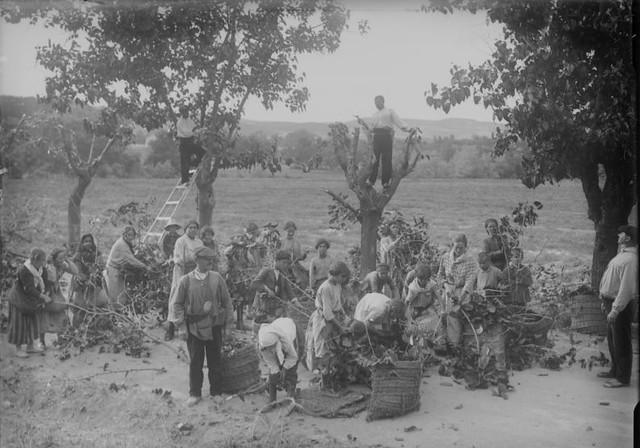 Recogiendo hojas de morera en los terrenos del Monasterio de San Bernardo en Toledo en 1925.