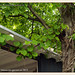 Garten Schawerda: scharlachwein | 2013-06