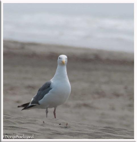 CA-Seagulls-2