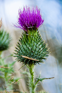 Kellogg Forest - Thistle