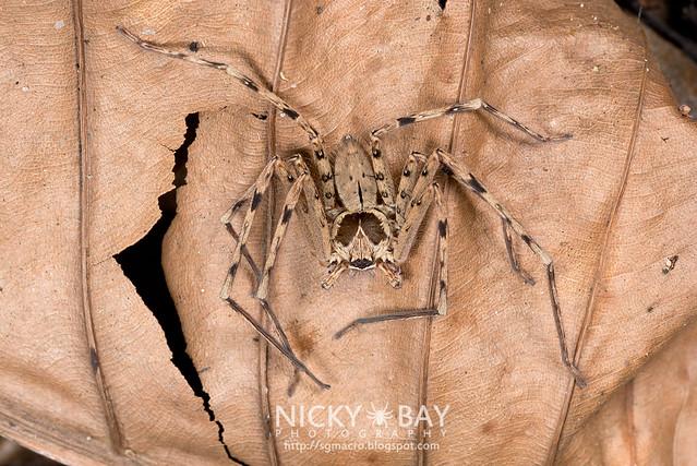 Huntsman Spider (Heteropoda sp.) - DSC_2984