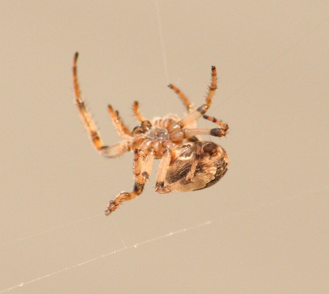 orb-weaver spider 04