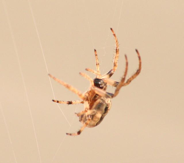 orb-weaver spider 03