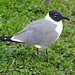 Laughing Gull - Photo (c) Heather Paul, some rights reserved (CC BY-ND)
