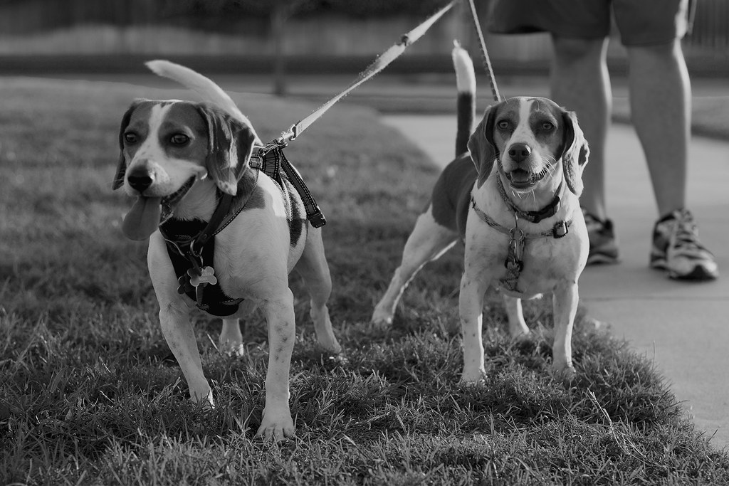 Beagles B&W Project, 3
