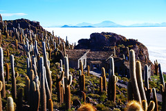 1,000 Year Old Cacti (Echinopsis atacamensis) on Incahuasi Island, Salar de Uyuni, Bolivia