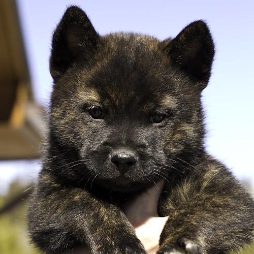 Kumi-Litter4-Day46-Puppy5-Female(Kiko)-1