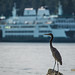 "Blue Heron with new San Juan ferry ""Samish"" by Eddie Murdock"