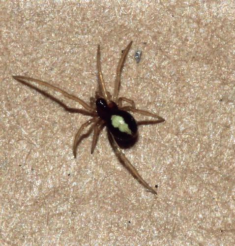 Spider 6079