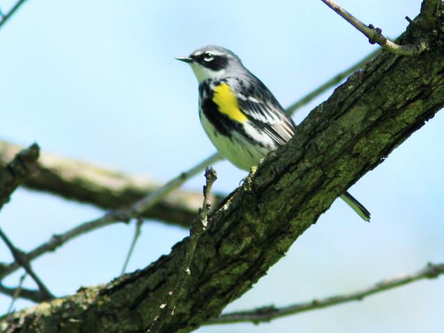 Yellow-rumped Warbler 20150513