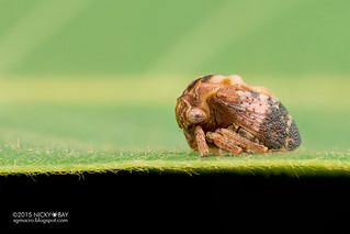 Treehopper (Sipylus sp.) - DSC_9112