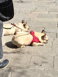 Venetian pugs