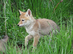 red wolf(0.0), jackal(0.0), grey fox(0.0), red fox(0.0), white-tailed deer(0.0), dhole(0.0), saarloos wolfdog(0.0), kit fox(0.0), animal(1.0), grass(1.0), mammal(1.0), fauna(1.0), fox(1.0), wildlife(1.0),