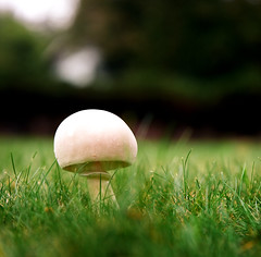 White Mushroom on the Lawn