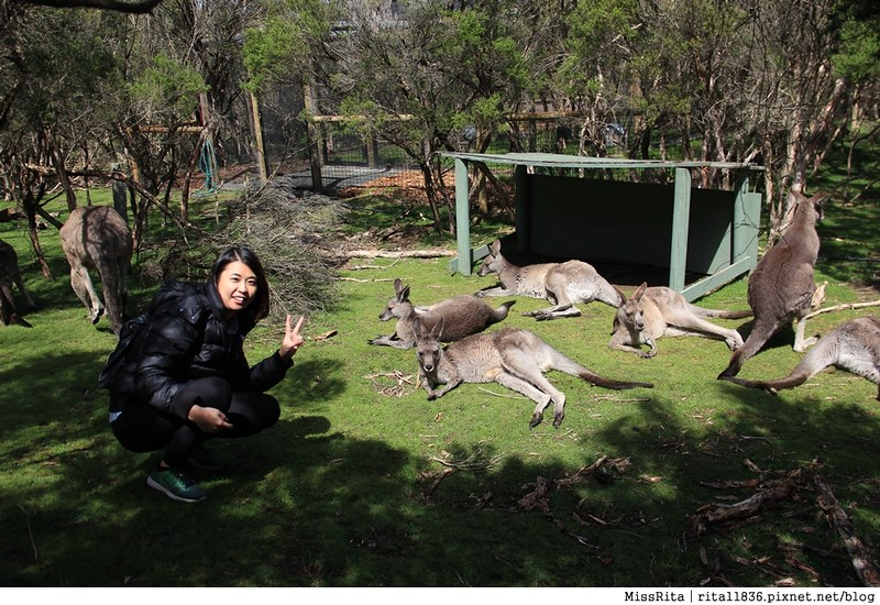 KKDAY 墨爾本自由行 melbourne gowesttours kkDAY墨爾本 墨爾本企鵝 澳洲自助 墨爾本自助 菲利浦島 菲利浦島交通 墨爾本必去 墨爾本酒莊 月光野生動物 Nobbies 墨爾本企鵝歸巢 墨爾本一日遊 菲利普島一日遊,小企鵝歸巢遊行60