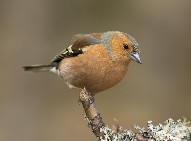 chaffinch on twig