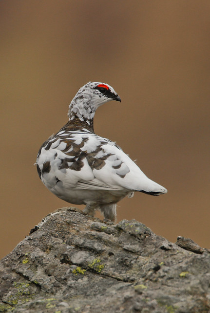 ptarmigan 500mm canon 6