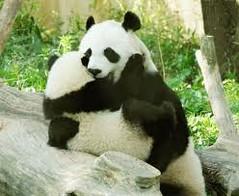 abrazo oso panda