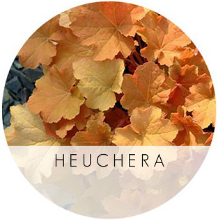 HEUCHERA-CARAMEL-WALTERS