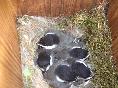 Chickadees Day 18