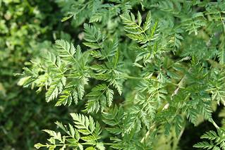 Poison Hemlock leaves
