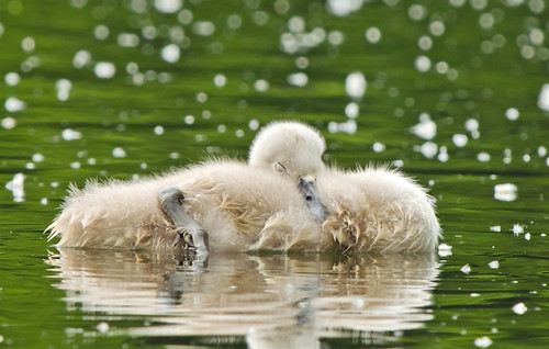 Cygnet - Sleeping bundle of floating fluff