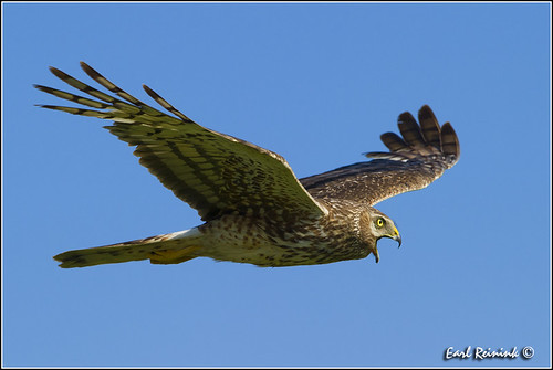 Northern Harrier Hawk (00625-1070)