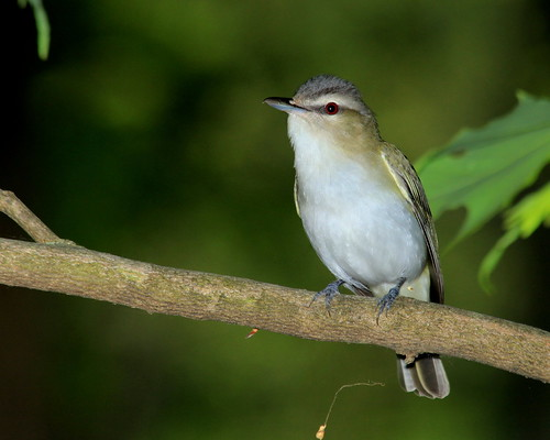 Red-eyed Vireo Posing For Me