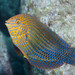 Shortnose Wrasse by PacificKlaus