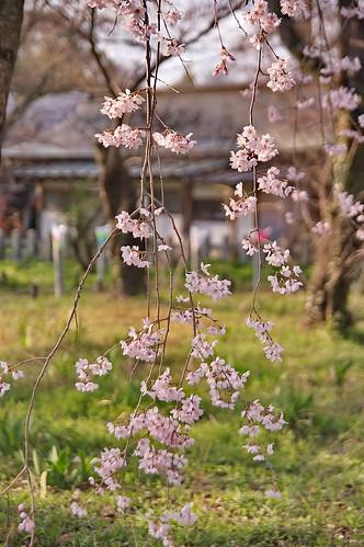 【写真】2013 桜 : 平野神社/2021-01-09/IMGP8719