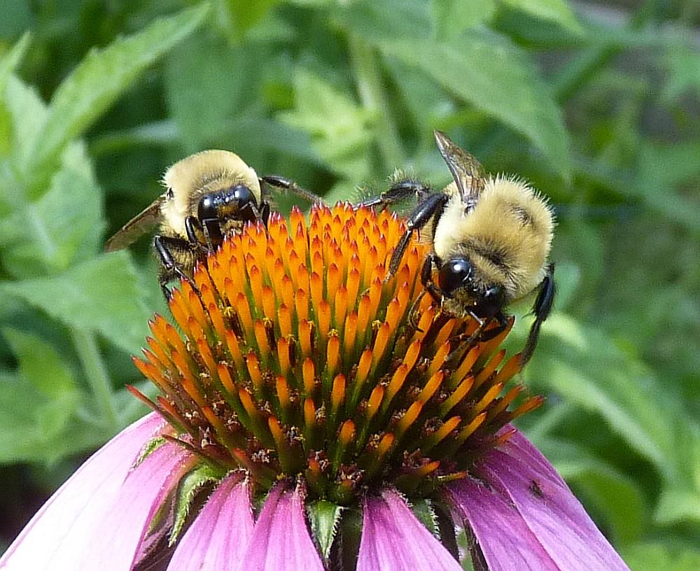 Bumble Bees Echinacea 6b