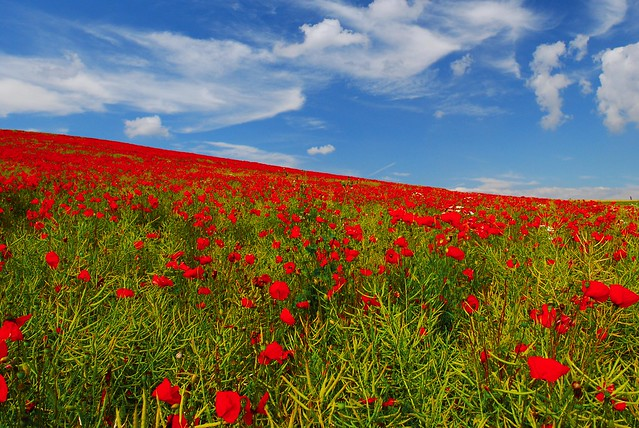 Poppies (Le champ de coquelicots)