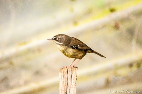 Whitebrowed Scrubwren