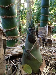 Wamin Bamboo New Shoots